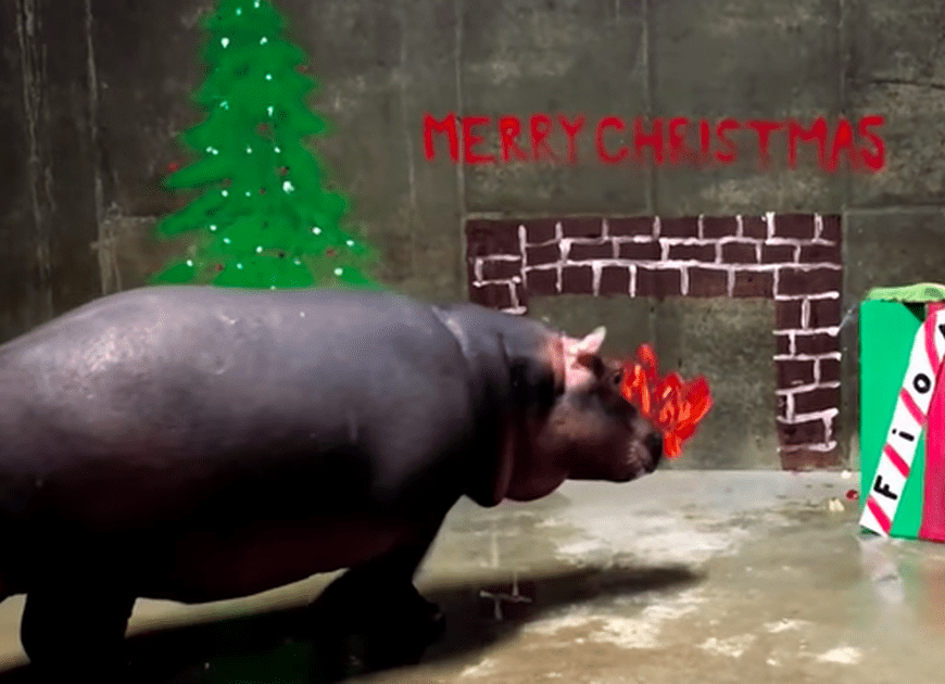 Fiona the Hippo celebrates the holidays with a special gift