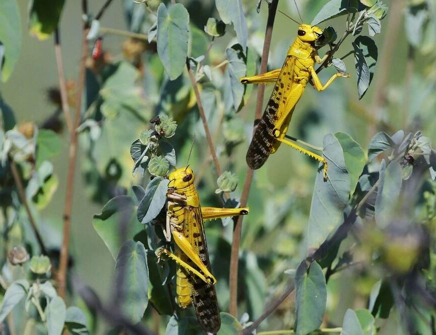 The Terrifying Science Behind the Locust Plagues of Africa