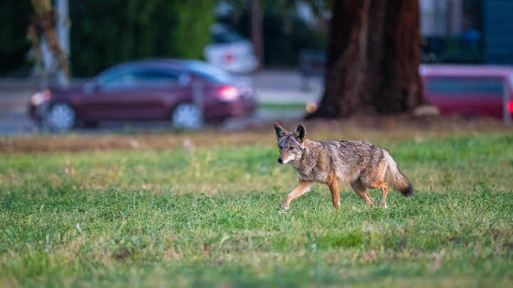 Coyotes Have A Taste For Cats And Human Garbage, Poop Study Reveals