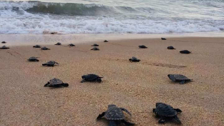 Critically Endangered Turtle Hatchlings Stroll Down Brazil's Abandoned Beaches